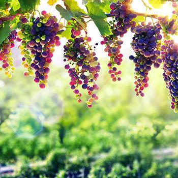 Weintrauben Cabernet Sauvignon