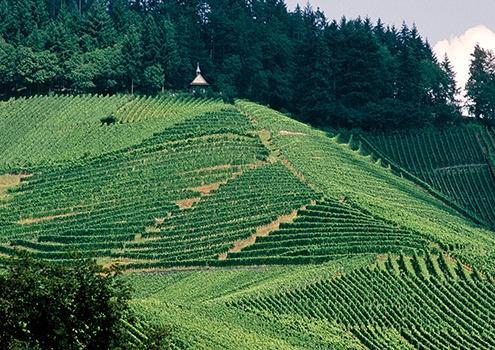 Anbau von deutschem Weißwein