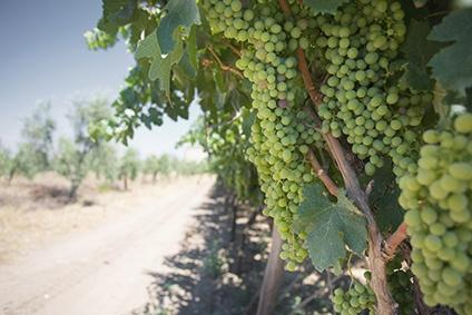 Weinreben in Apulien