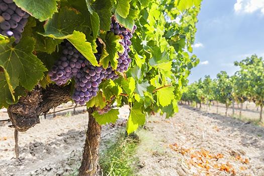 Beaujolais Weinrebe