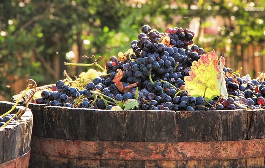 Bordeaux Weintrauben
