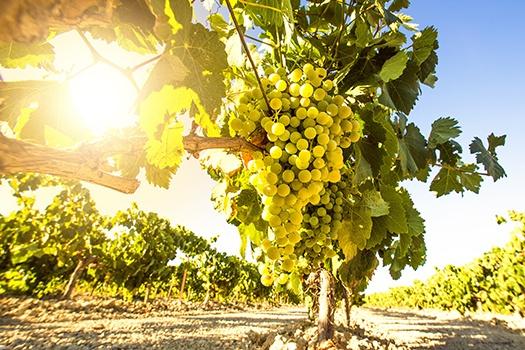 Chardonnay: Weinrebe