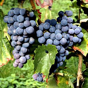 Rotwein Rebsorte Tinta Barocca
