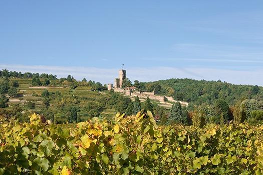 Anbau von deutschem Weißwein in der Pfalz