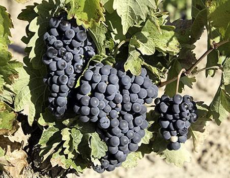 Weinreben des Navarra Weins