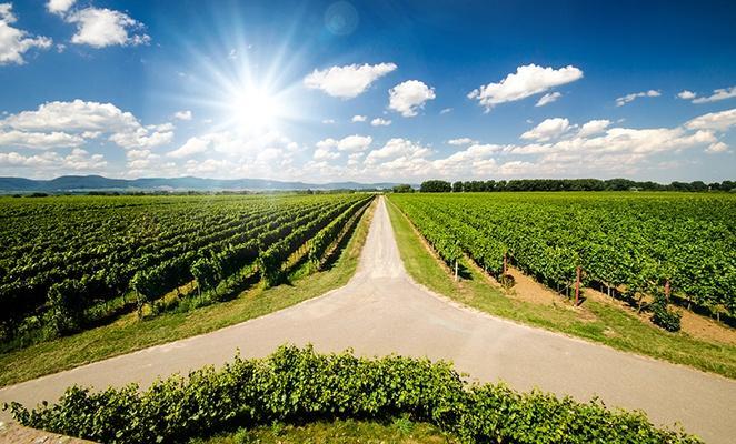 Weinanbau in der Pfalz