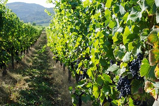 Pinot Noir: Weinberg