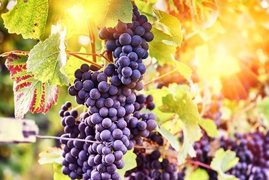 Pinot Noir Weinrebe