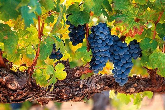 Weinrebe des Rioja Rotweins