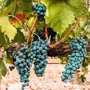 Burgunder Rotwein