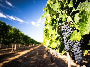 Anbau von Rotwein in Italien