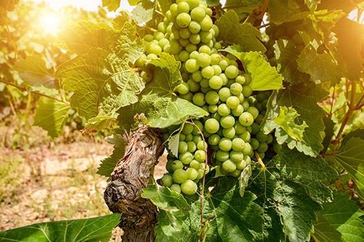 Weinreben des spanischen Weißweins
