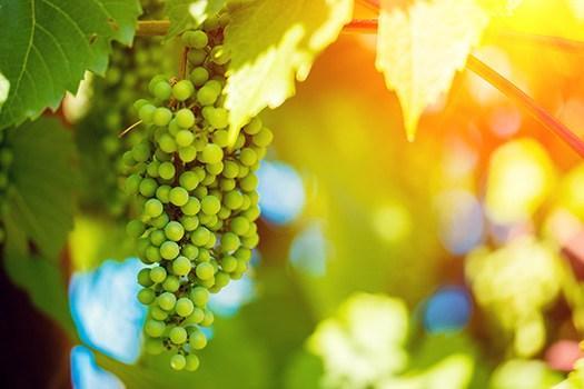 Toskana: Weinreben