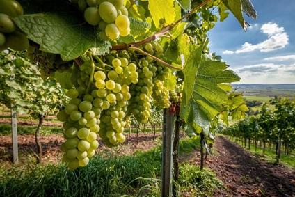 Weißwein im Anbau