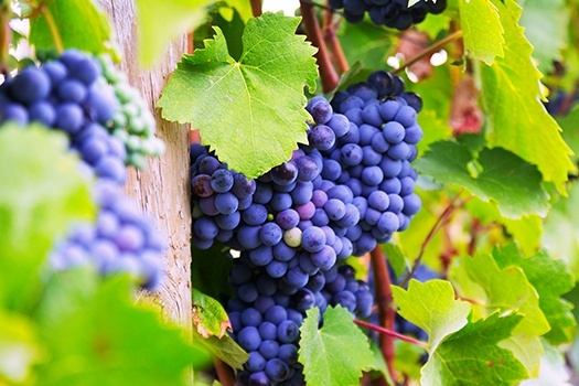 Weinanbau in Bergerac