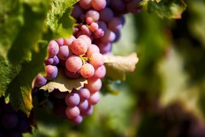 Weinanbau in Franken