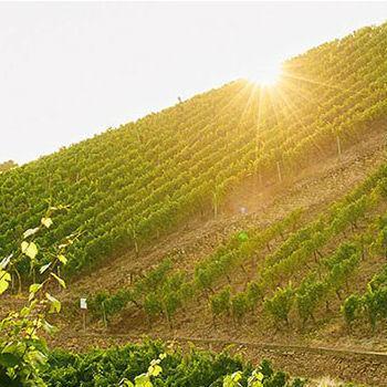 Die Weinberge des Weinguts Jakob Schneider