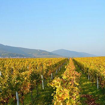 Weinberge des Weinguts Emil Bauer