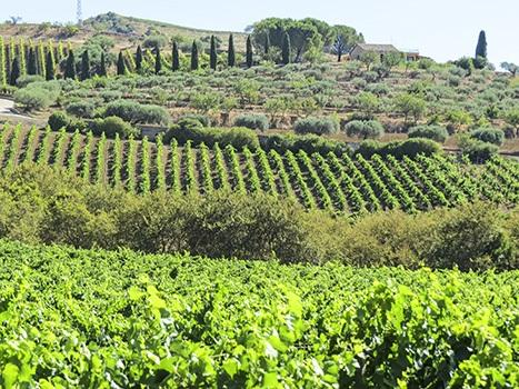 Weinberge in Sizilien