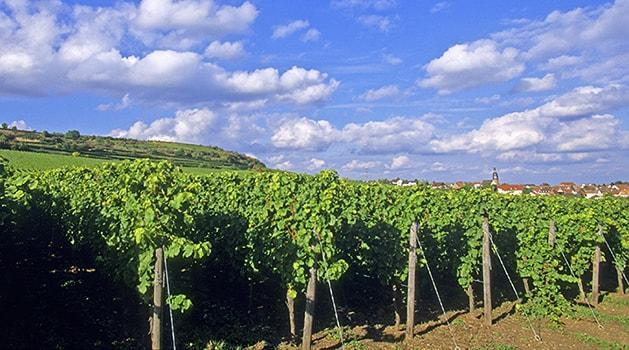Das Weingut Hammel in der Pfalz