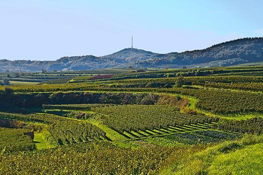 Weinberge des Weinguts Kiefer