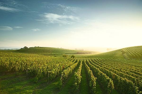 Die Weinberge des Weinguts Winter