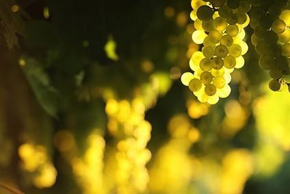 Weinreben italienischer Weißwein