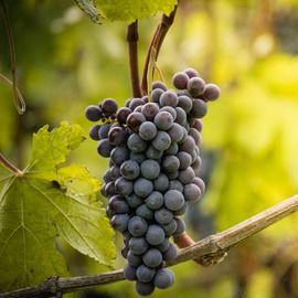 Weinreben im Piemont
