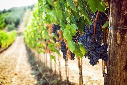 Italienischer Wein Weinrebe