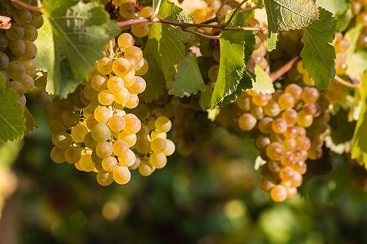 Sauvignon Blanc: Weinreben